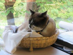 【画像】琥珀博物館の猫館長「ブルー」